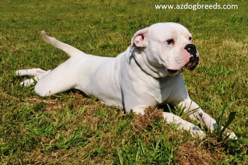 American Bulldog Dog Breed