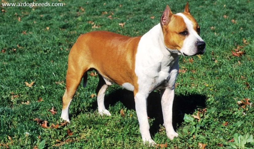 American Staffordshire Terrier-Dog Breed