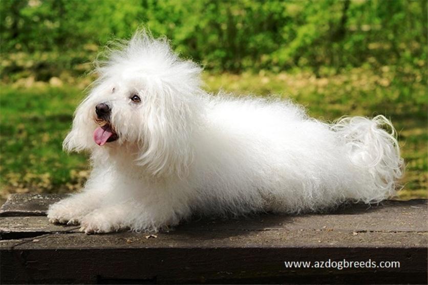 Bolognese dog breed