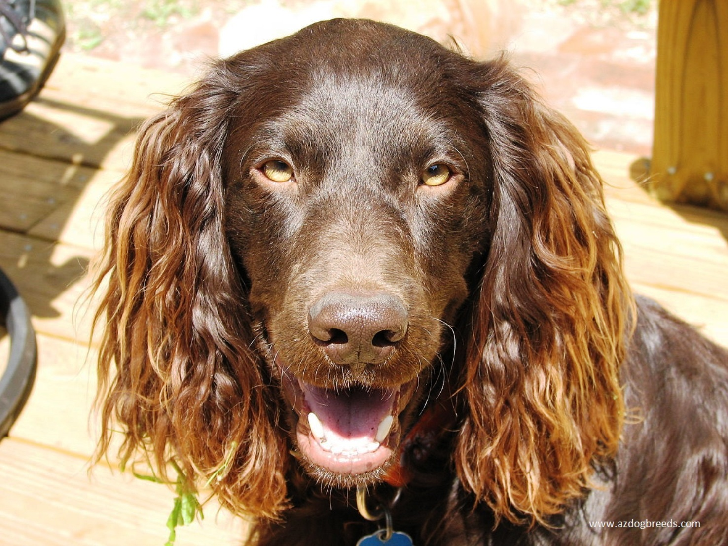 Boykin Spaniel dog breed
