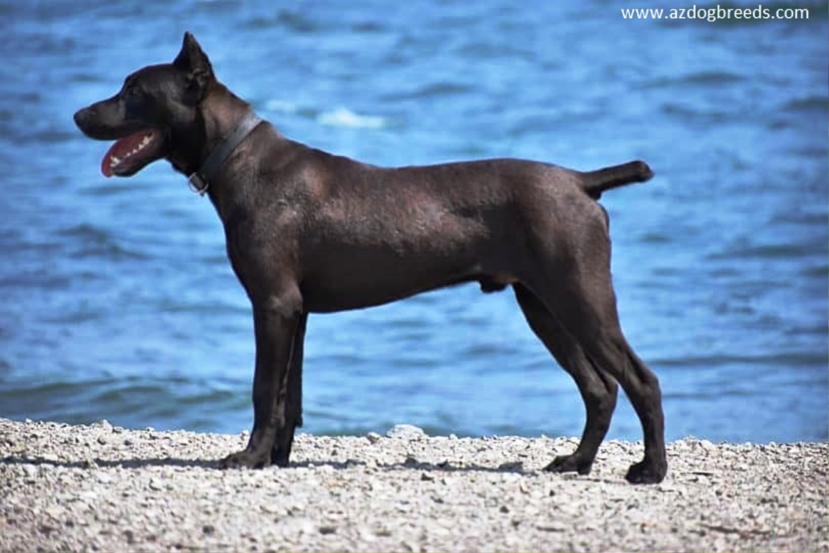Canis Panther dog breed