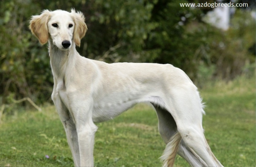 Caravan Hound dog breed