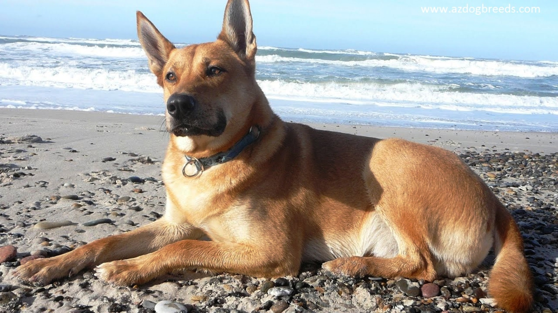 Carolina dog breed