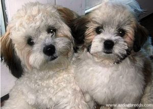 Chacy Ranior dog breed