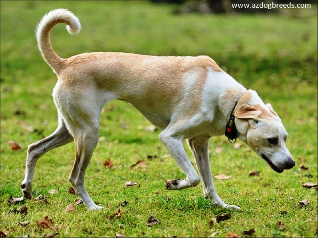 Cretan Hound dog breed