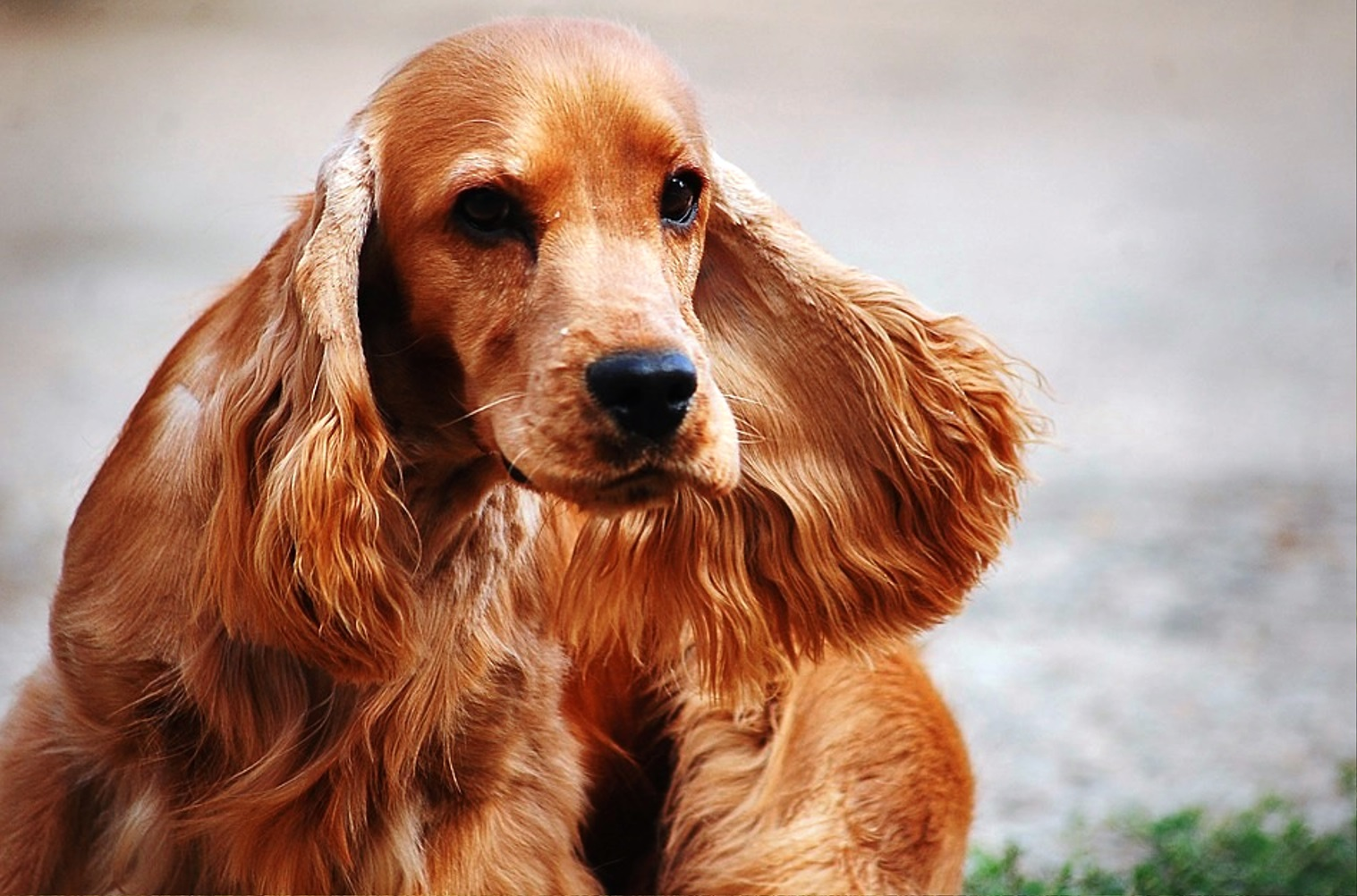 English Cocker Spaniel Dog-Breed