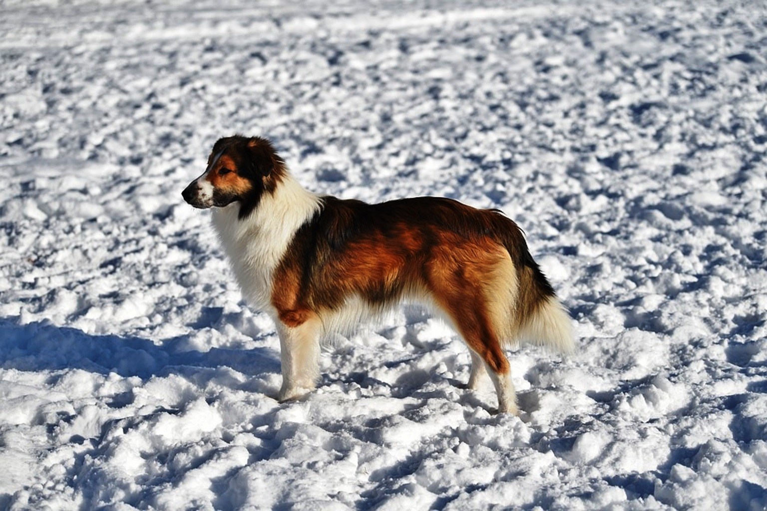 English Shepherd Dog Breed