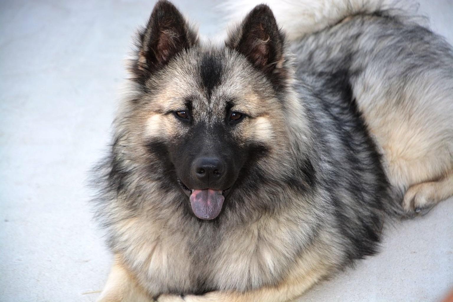 Eurasier Dog Breed