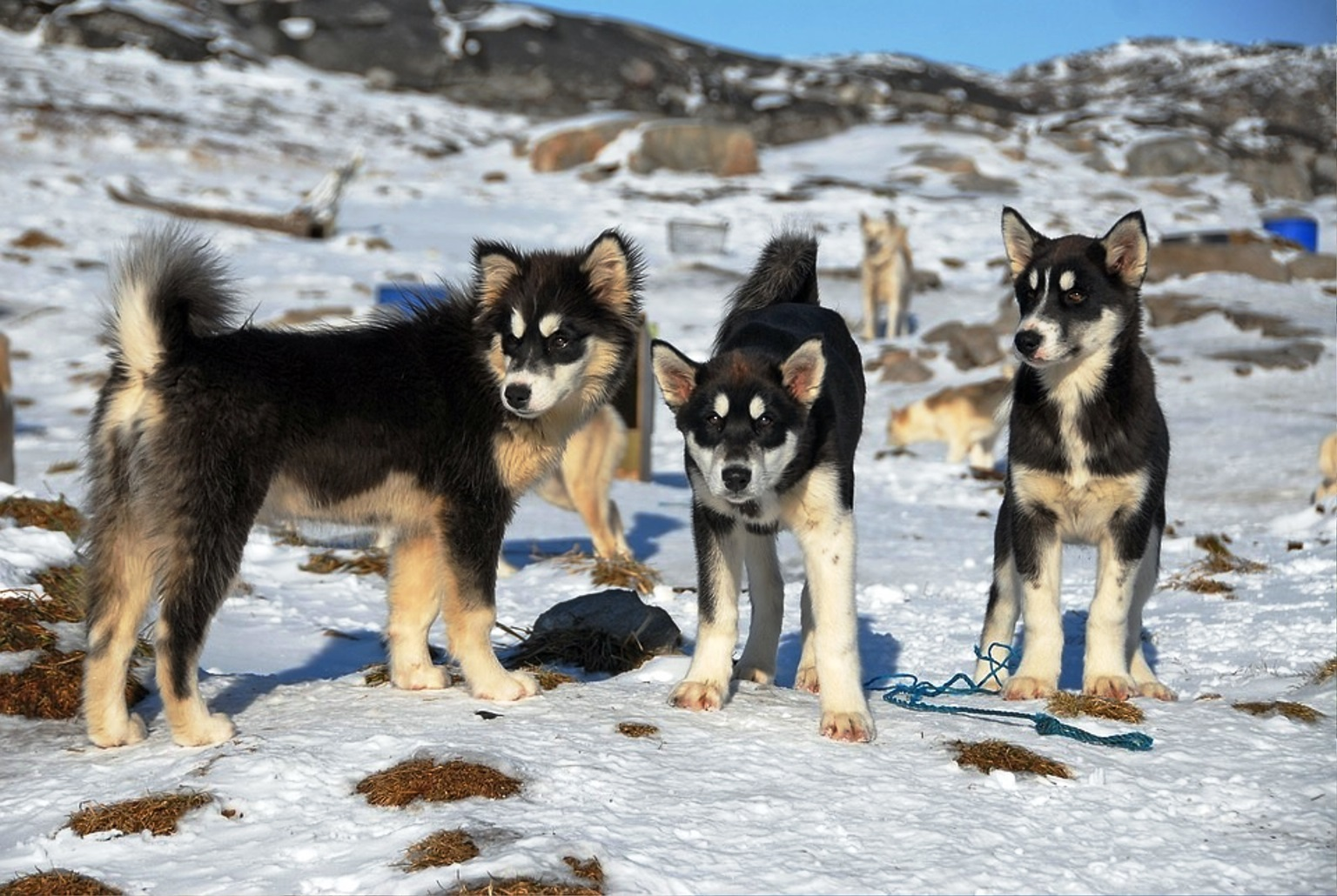 Greenland dog breed