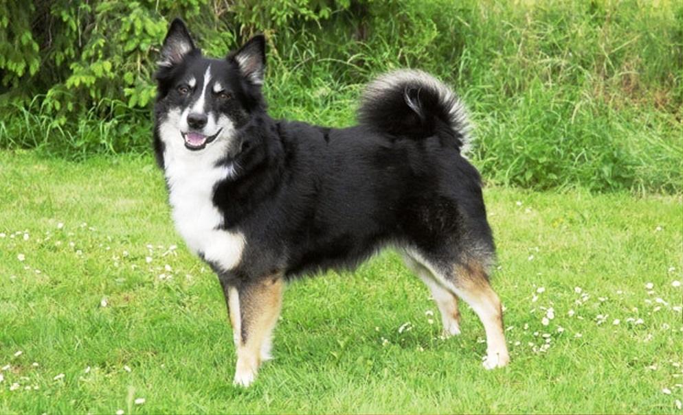 Icelandic Sheepdog dog breed