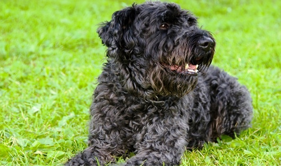 Kerry Blue Terrier dog breed