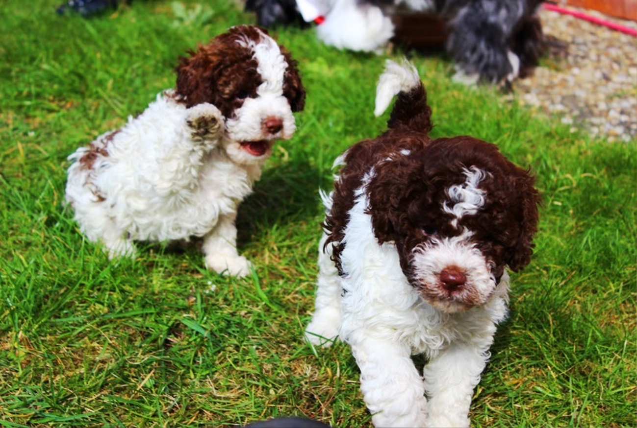 Lagotto Romagnolo dog breed