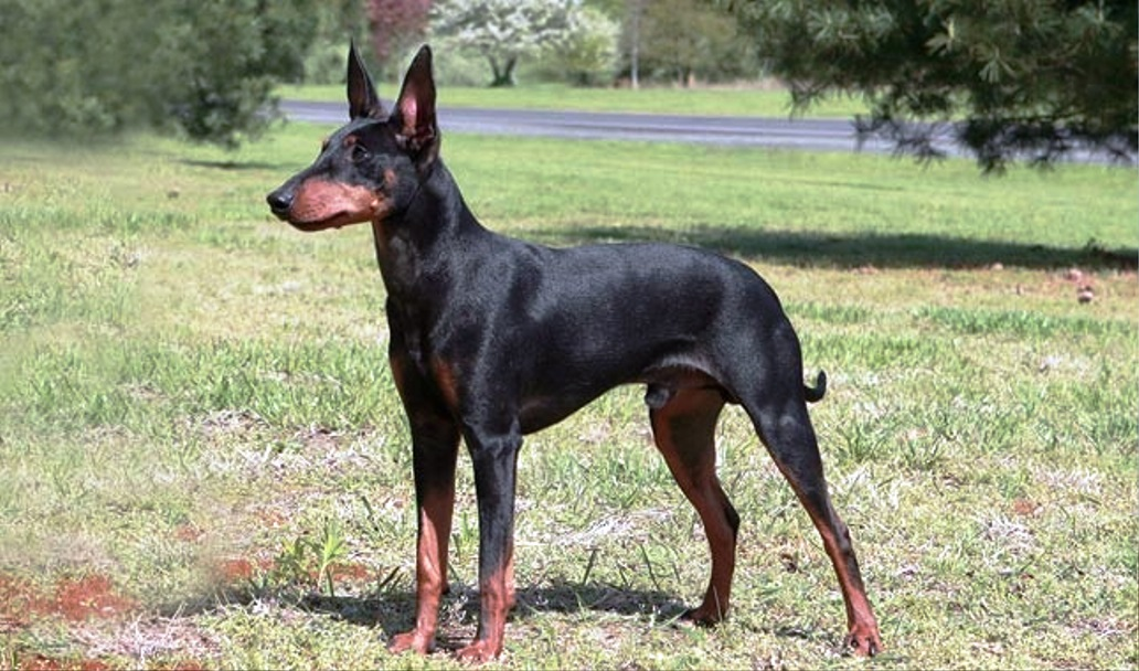 Manchester Terrier dog breed