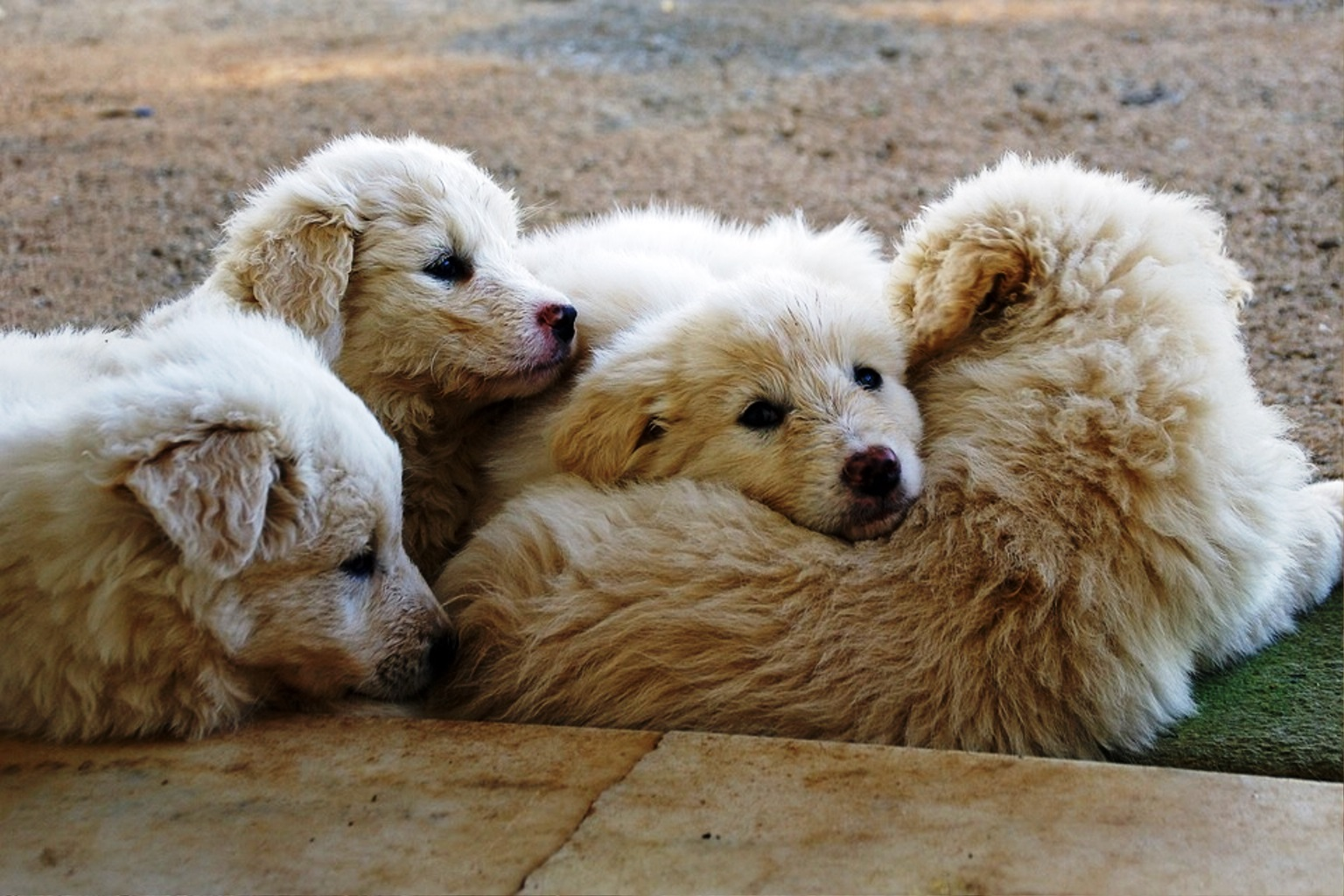 Maremma Sheepdog dog breed