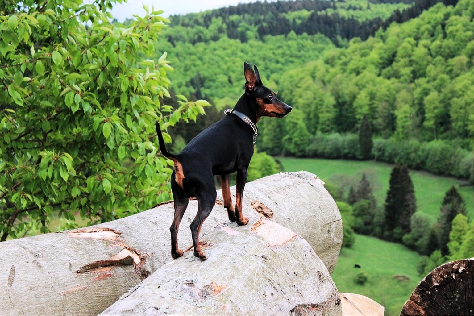 Miniature Pinscher or Zwergpinscher dog breed