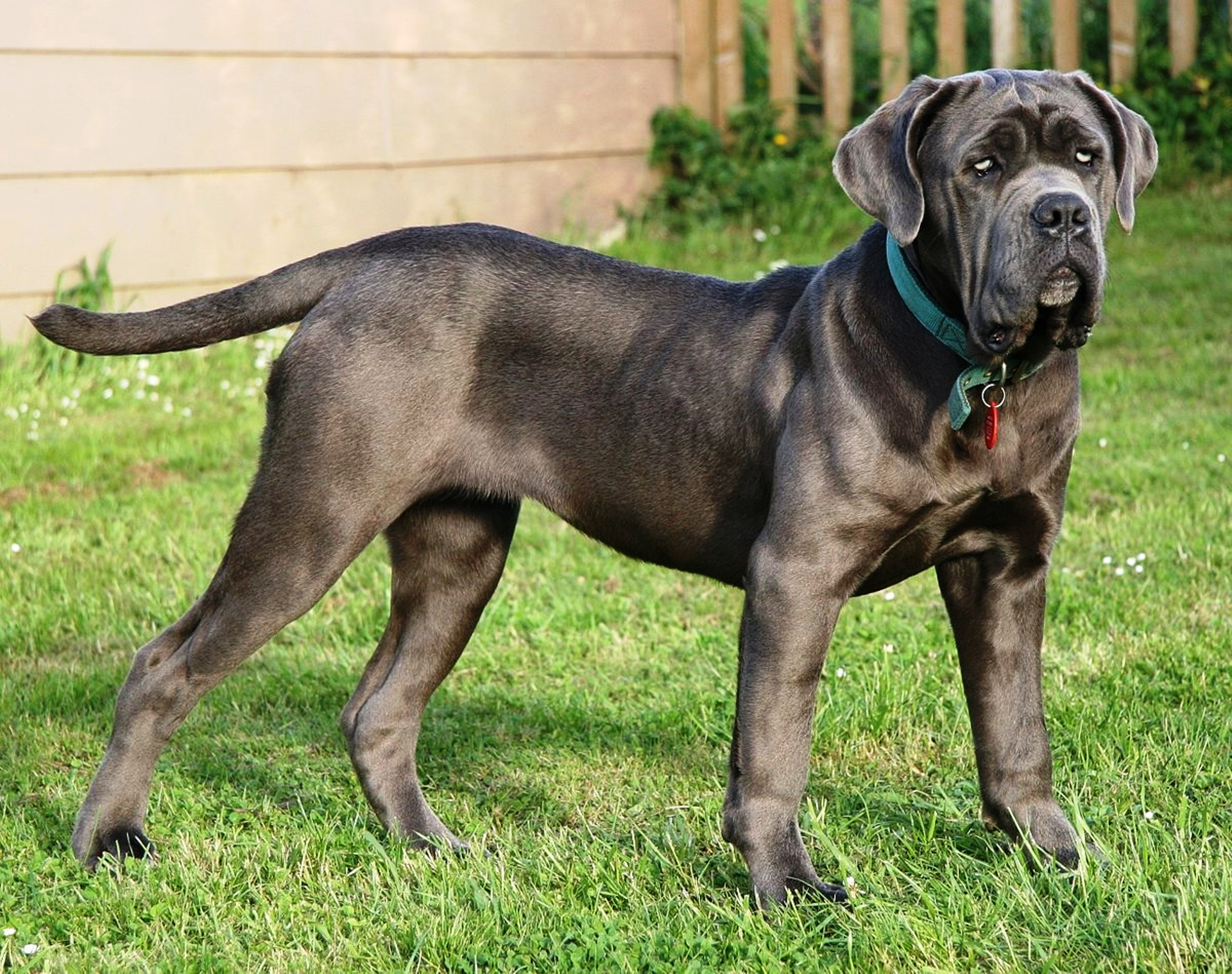Neapolitan Mastiff dog breed