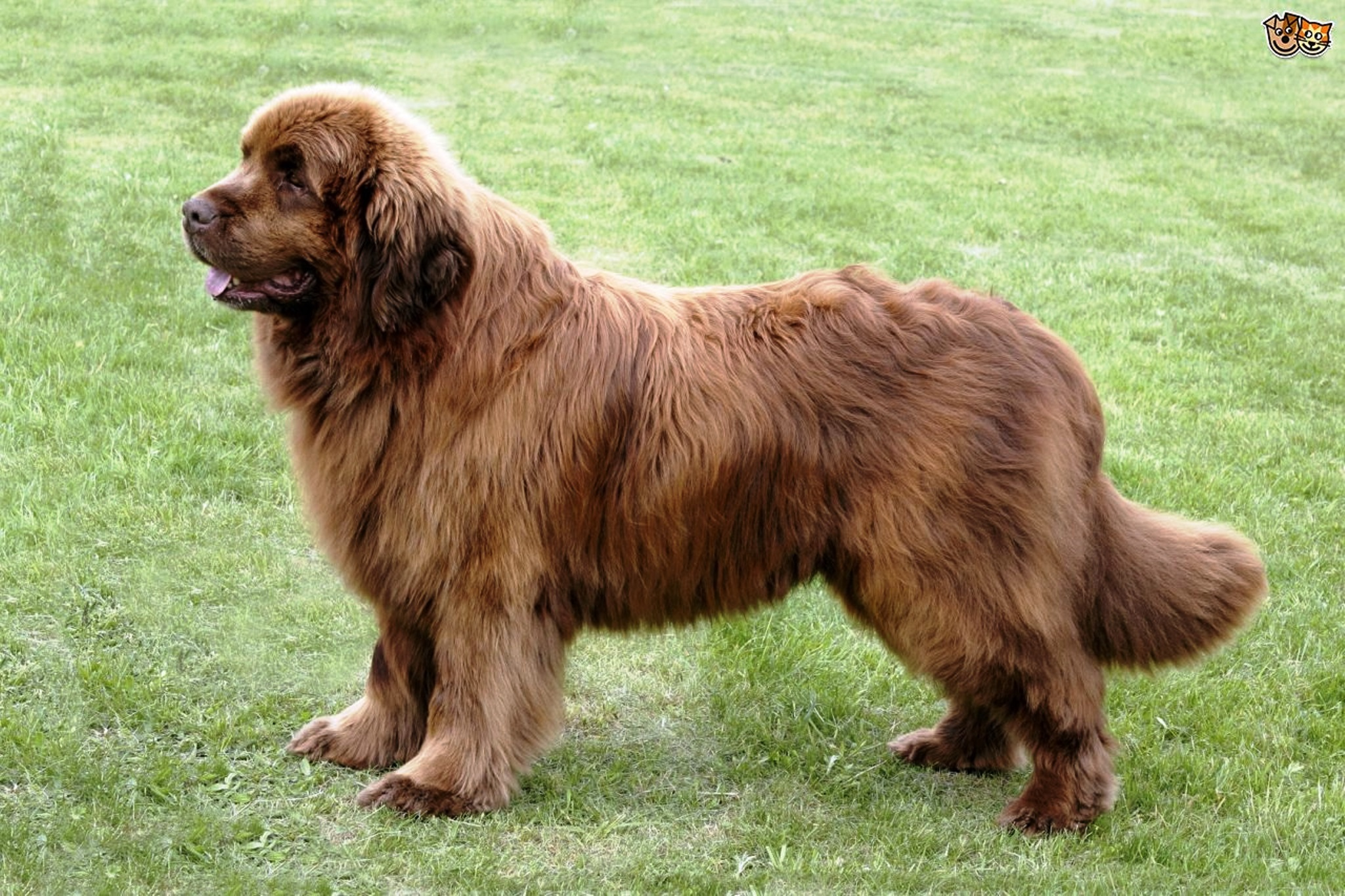 Newfoundland dog breed