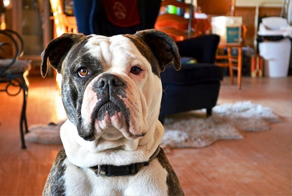 Olde English Bulldogge dog breed