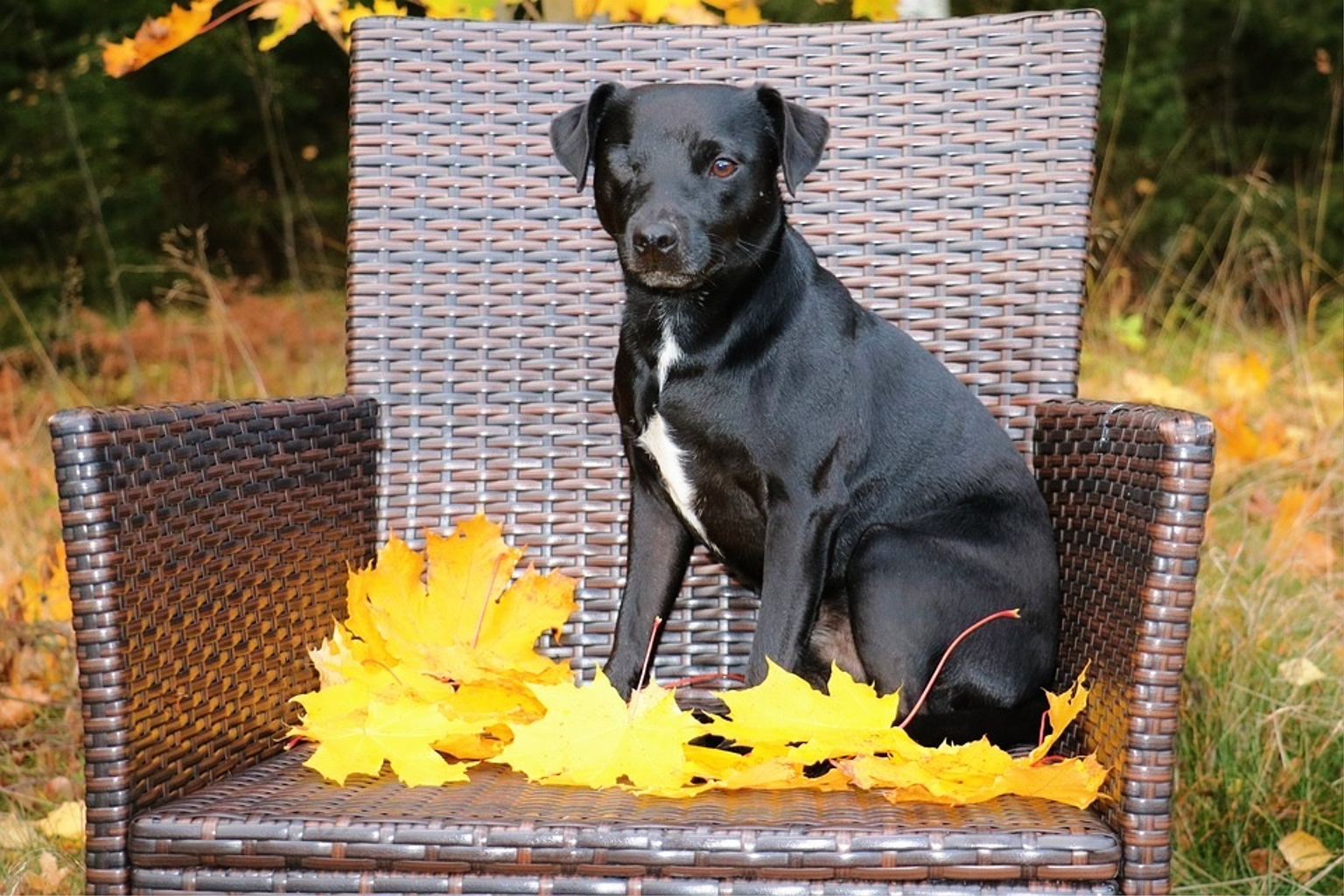 Patterdale Terrier dog breed