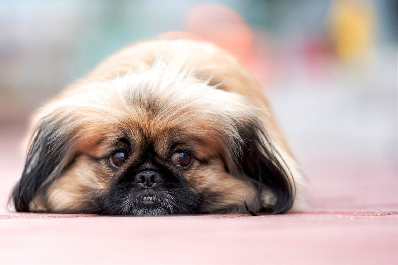 Pekingese dog breed