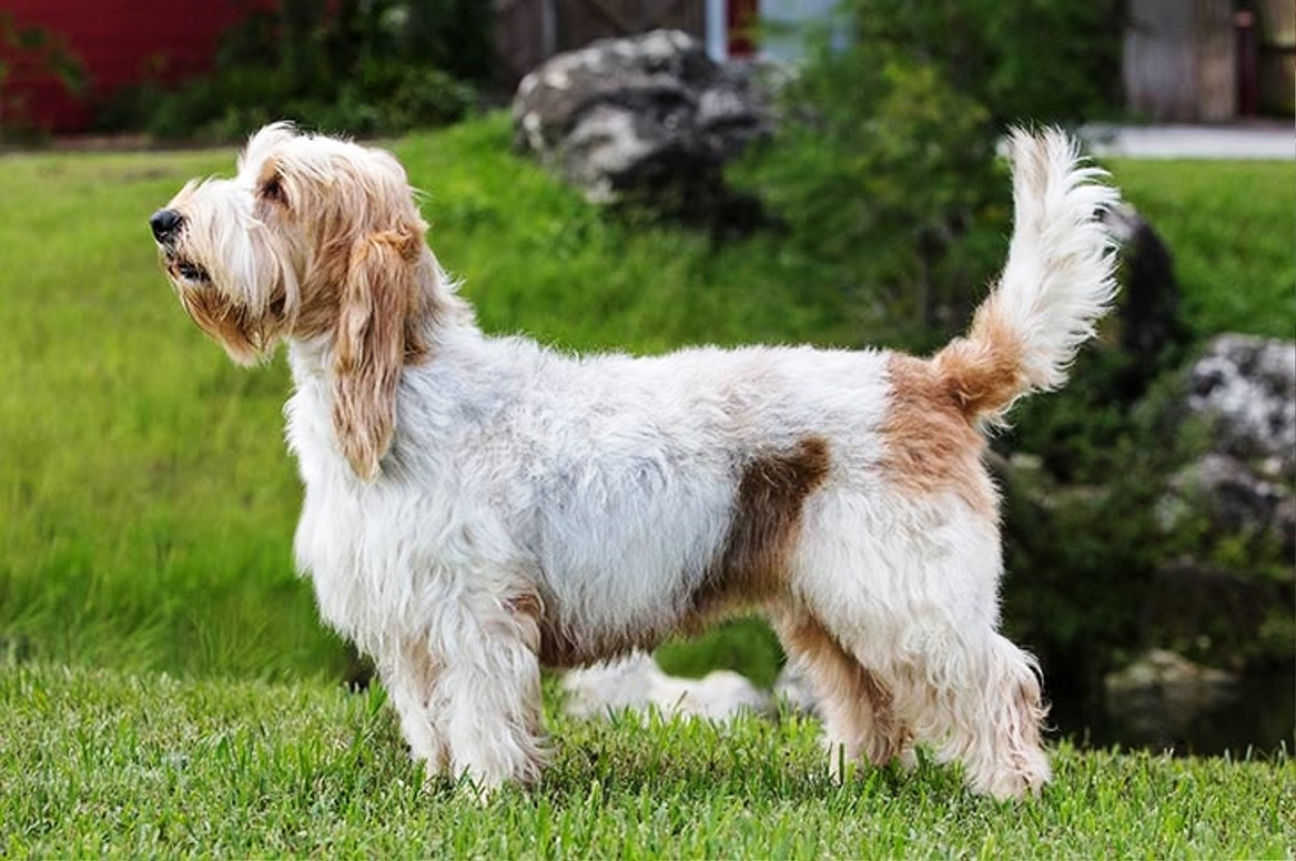 Petit Basset Griffon Vendeen dog breed