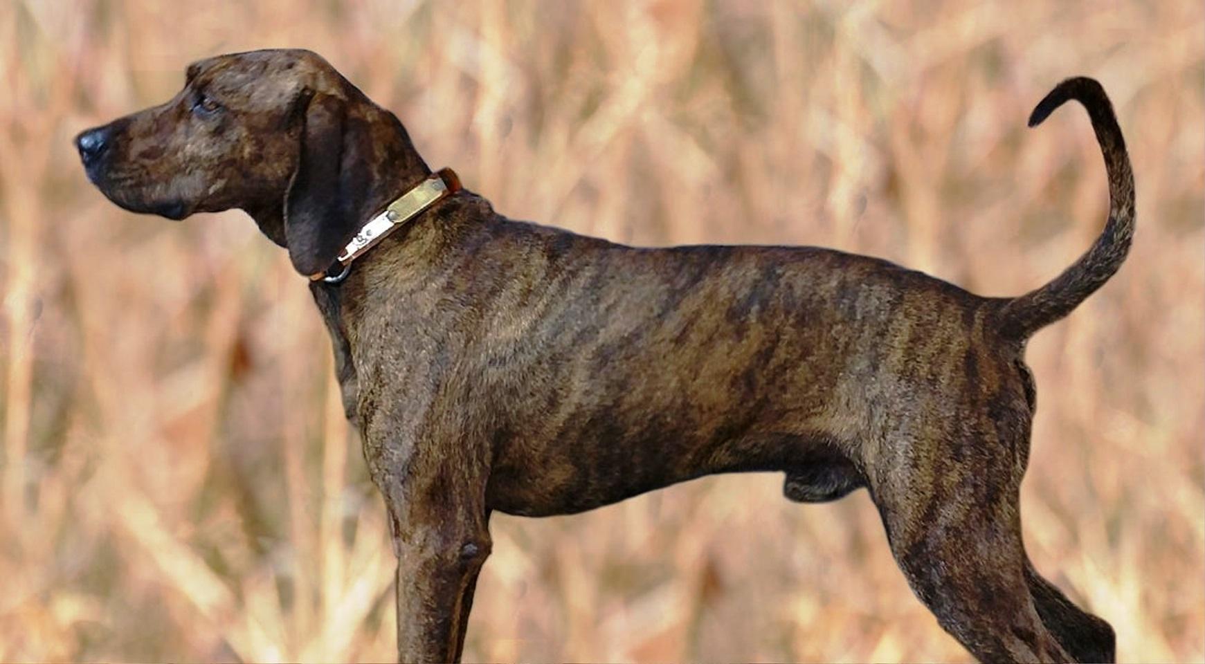 Plott Hound dog breed