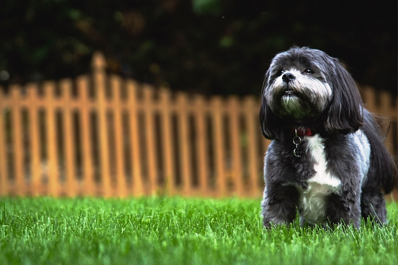 Shih-Tzu dog breed