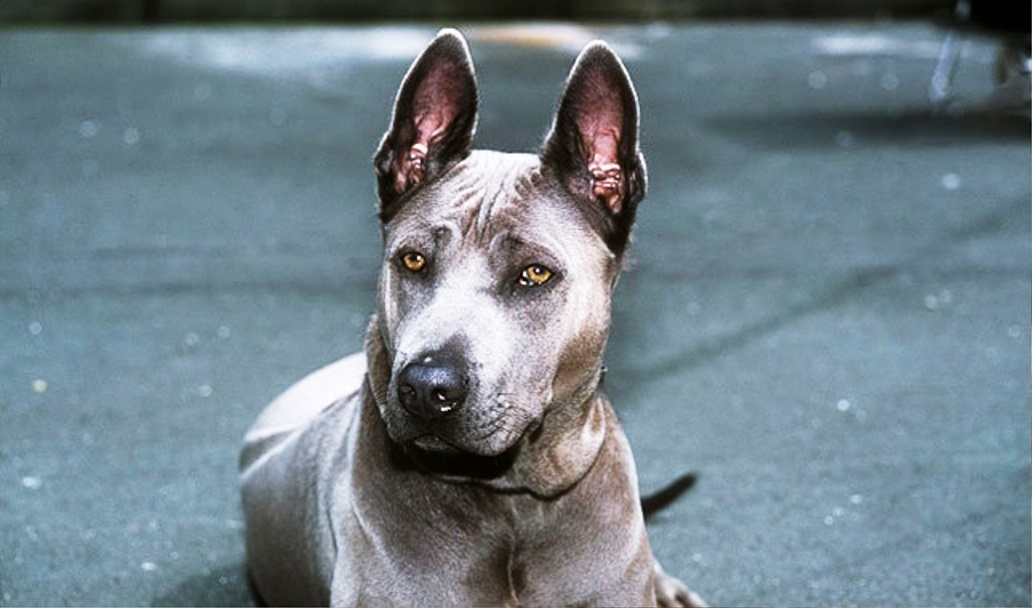 Thai Ridgeback dog breed