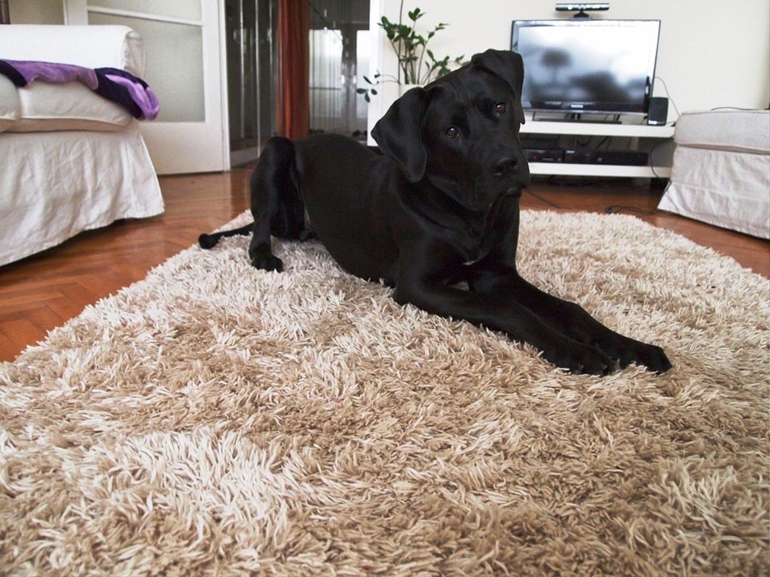 Tosa Inu dog breed