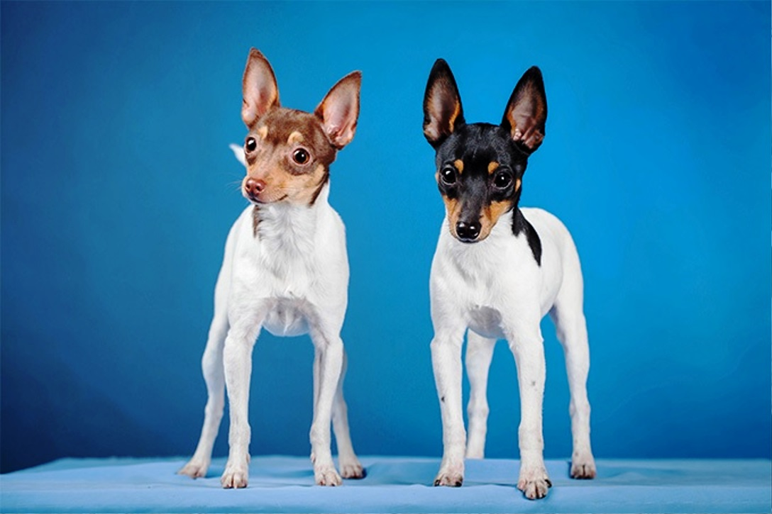 Toy Fox Terrier dog breed