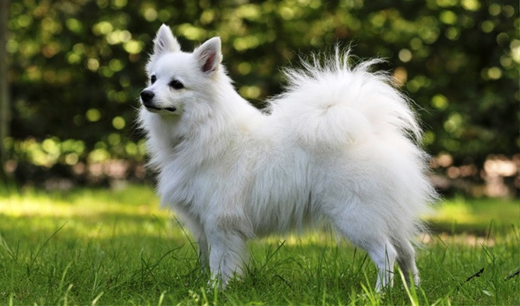 Volpino Italiano dog breed
